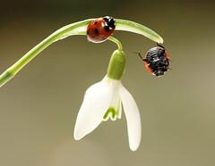 I can dance ;-) / explored / lady bird (bilska.anna) Tags: ladybug ladybird biedronka