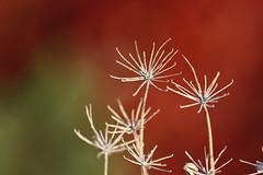 Simple beauty (kasia-aus) Tags: plant nature colours bokeh dry australia seedhead canberra fennel 2009 act