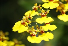 Oncidium Orchid - Dancing Ladies