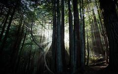 [フリー画像] [自然風景] [森林/山林] [太陽光線] [樹木の風景]       [フリー素材]