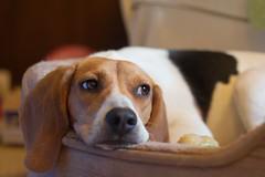 So Sad (Rich Renomeron) Tags: dog beagle 50mm canoneos350d canoneosdigitalrebelxt sadface canonef50mmf18ii 3354
