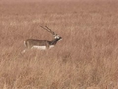 Endangered Blackbucks at Velavadar National Park, Gujarat, India