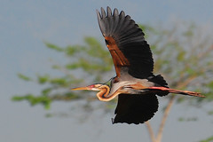 Purple Heron in flight (frborj) Tags: bird inflight nikon philippines sigma swamp 70300mm habitat pampanga purpleheron d80 candaba pkchallenge frborj