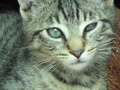 NO SE POR QUE SALI CON EL OJO ASI (Gioser_Chivas) Tags: animal cat gato mascota mamifero gioser