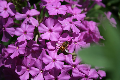 honey bee on phlox