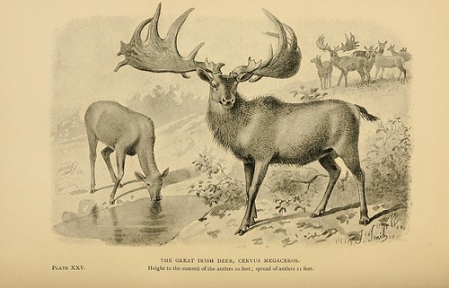 The Great Irish Deer, Cervus megaceros