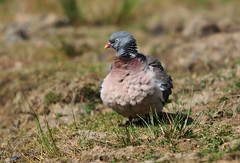 Wood Pigeon (Columba palumbus) in a Field - Fluffing its Feathers Up. (Steve Greaves) Tags: pink bird nature field grass grey earth dove wildlife feathers fluff plumage rspb woodpigeon columbapalumbus commonwoodpigeon fairburnings fluffing 17converter nikond300 nikonafsii400mmf28ifedlens