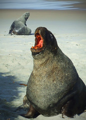 2 Fur Seals