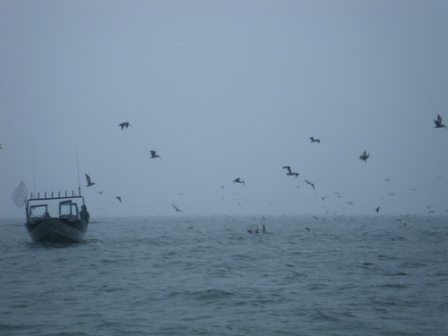 Pelicans at Buoy Ten