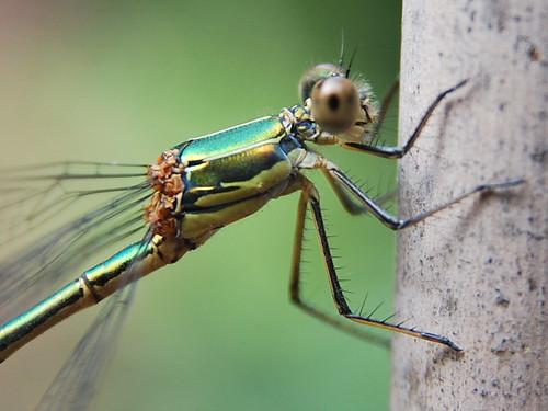groene waterjuffer / Coenagrionidae