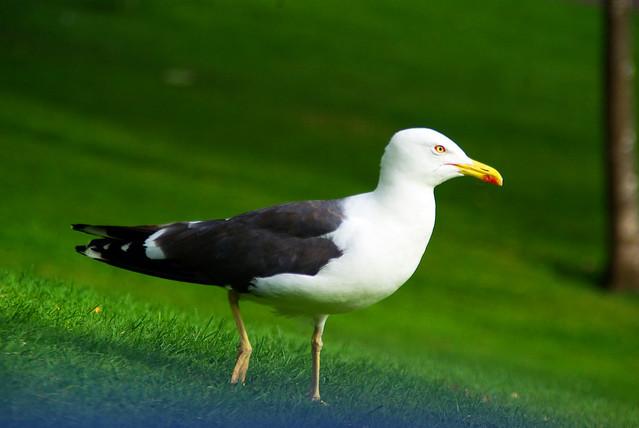 Seagull in Edinburg
