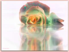 (ccmerino) Tags: flowers roses flower macro nature rose flora macros masterphotos