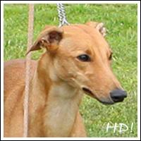 FCI-Windhund-EM 2009 - Favorit: Ashanti van de vier Wieken, Greyhound