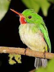 Rasta Bird // Robin Readbreast // Jamaican Tody
