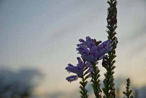 Evening Purple Flower