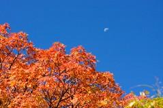 半月が紅葉を見下ろす