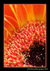Gerbera Macro (chetty3) Tags: flowers orange macro canon petals gerbera sigma105mmf28 eos40d wonderfulworldofflowers