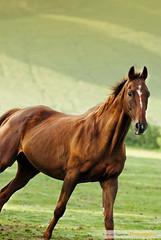 Dernier regard avant tourner (Jeroen Tiggelman) Tags: cheval nikon chevaux rebecq jeroentiggelman galebird luciegeorges jeroentiggelmanphotography fotojeroentiggelman photographebinche photographehainaut photographedemariagemons photographeportraitcharleroi