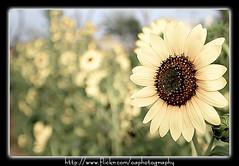 Sunflower Bokeh (Omer_Arif) Tags: pakistan plants sun white flower color nature up yellow photoshop garden photography paint flickr close photos bokeh framed edited painted sharp p omer punjab dots suraj ful arif oa sialkot daubs mukhi fliters phool superaplus aplusphoto