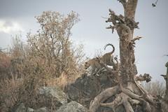 Leopard descending tree - Serengeti National Park, Tanzania