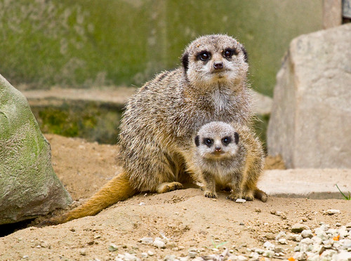 フリー画像| 動物写真| 哺乳類| 小動物| ミーアキャット| 親子/家族|      フリー素材|