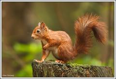 Posing... (Alex Verweij) Tags: autumn wet rain canon squirrel herfst posing eekhoorn beekbergen 7020028lisusm 40d abigfave alexverweij flickraward
