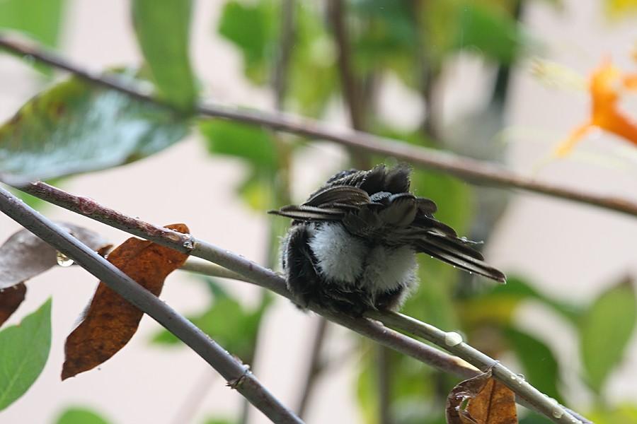 Anna's Hummingbird 1009u1-5