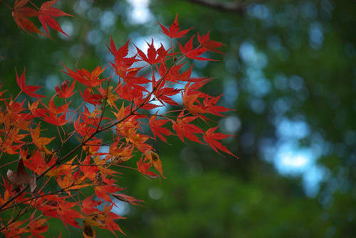 紅葉 / red maple