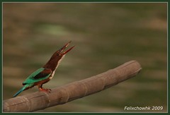 20091123_250 White-Throated Kingfisher  (felixcat2006) Tags: bird nature birds nikon wildlife 300mm kingfisher d200