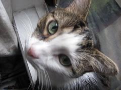 Opie (Grace Hearts) Tags: cats kittens kitties felines