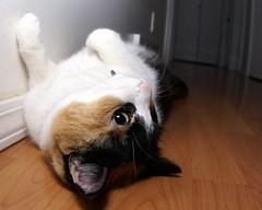 Lazy Cat (FlyFishingFanatic) Tags: cat calico sigma15mmf28exdgdiagonalfisheye