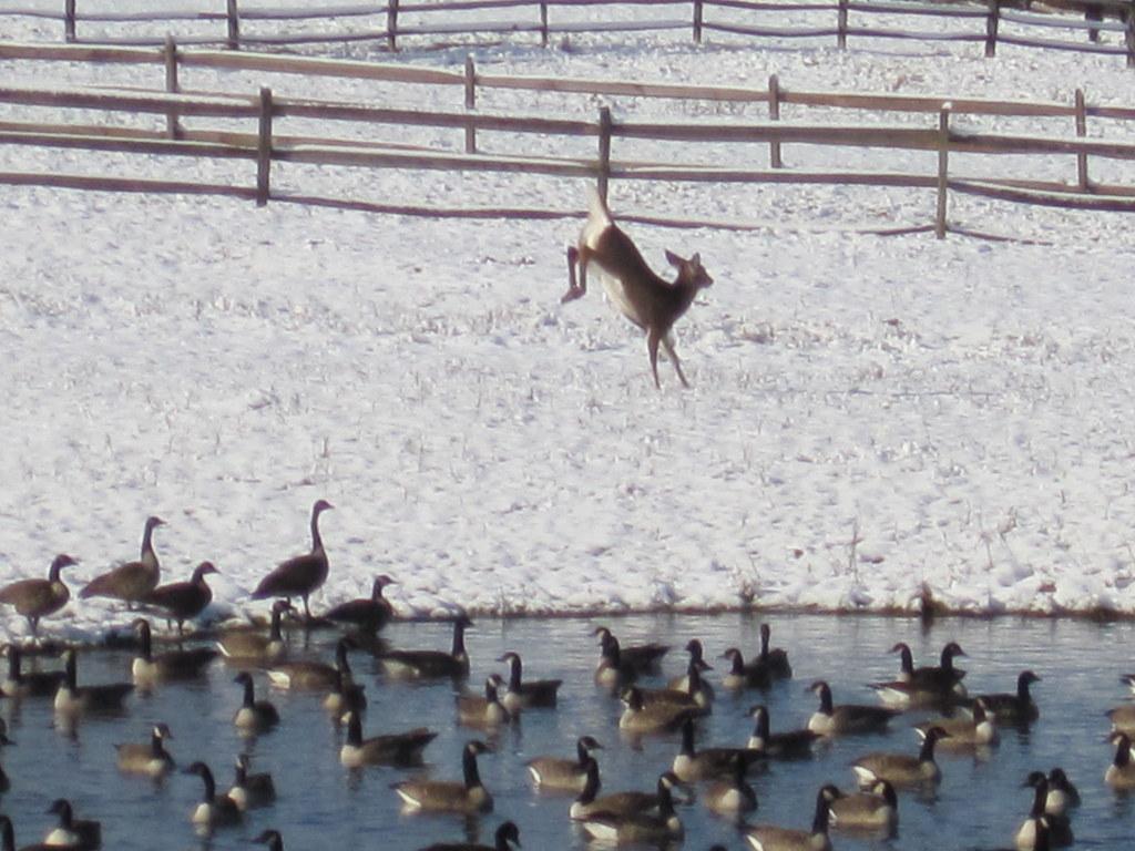 Leaping deer, staring geese