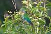 Pyrrhura lepida - Pearly Parakeet (arthurgrosset) Tags: fbwnewbird fbwadded pyrrhuralepida pearlyparakeet
