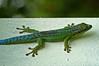 Phelsuma borbonica - east coast (ach_gecko) Tags: ocean reunion indian vert lizard gecko chameleon phelsuma lezart borbonica inexpectata