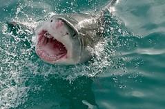 Great White Shark (Carcharodon carcharias) (berniedup) Tags: greatwhiteshark carcharodoncarcharias whiteshark taxonomy:binomial=carcharodoncarcharias shark marinedynamics gansbaai kleinbaai