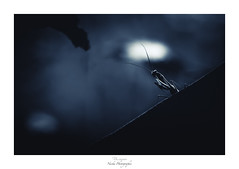 Traque nocturne (Naska Photographie) Tags: naska photographie photo photographe paysage proxy proxyphoto macro macrophotographie macrophoto insectes antennes arthropodes mante religieuse mantidae nuit night nocturne midnight dark darkness moon blue monochrome noir et blanc color couleur bokeh explore