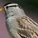 White Crowned Sparrow Bird