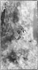 Bluetit mono (saundersfay) Tags: bluetitts birds flying feeding fluttering countryside kent 2017