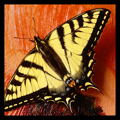 Butterfly on canvas (NaPix -- (Time out)) Tags: red macro art 6x6 nature yellow wow butterfly square flickr magic explore papillon micro top10 4thofjuly awe mariposa schmetterling vlinder borntobewild   explored explorefrontpage bm exploretopten napix  butterfliesaremagic