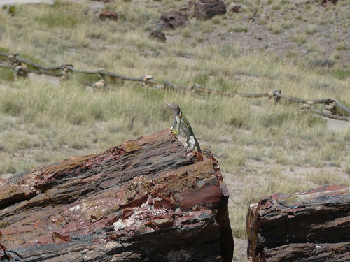 collard lizard standing on petrified tree