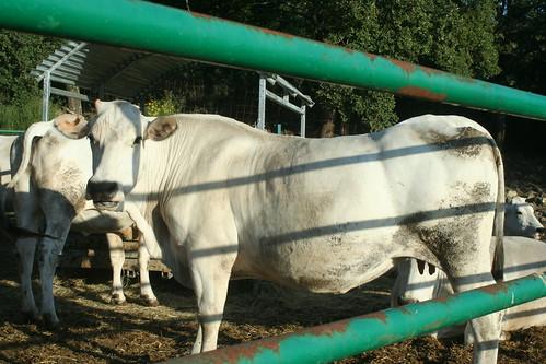 Chiana cow pregnant_7530