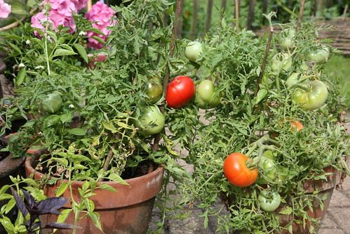 Tomaten in pot