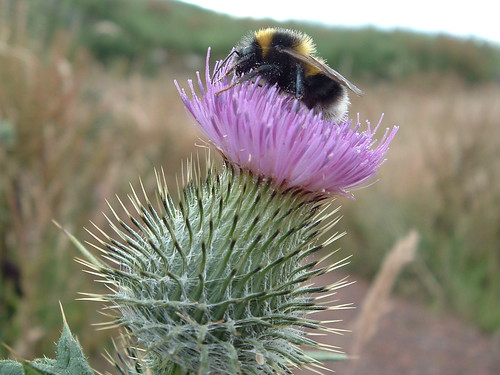 thistle and bee 026