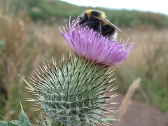 scottish thistle and bee 026