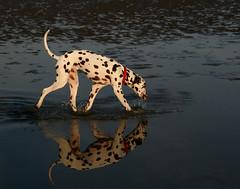 Time to Reflect (Emma Scott) Tags: sea dog reflection beach water mirror dusk paddle spot dalmatian