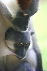 A Mothers Love........ (law_keven) Tags: england animals monkeys essex colchester colchesterzoo primates mangabey explore500 mywinners cherrycrownedmangabey babymangabey