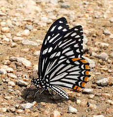 COMMON MIME Chilasa clytia (form dissimilis), Corbett National Park, Uttarakhand, India (Isaac Kehimkar) Tags: papilionidae butterflyindia chilasaclytia swallowtailbutterflies commonmime butterfliesofindia