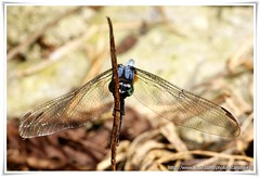 Dragonfly - Macro (cjlai76) Tags: blue macro bug insect asia minolta dragonfly sony gray 100mm trail malaysia alpha rs petaling f28 jaya bukit selangor maxxum a300 gasing
