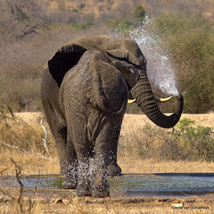Splishing and splashing (gerdavs) Tags: elephant southafrica photo wildlife krugernationalpark olifant knp loxodontaafricana specnature specanimal wildlifeafrica goldwildlife renosterkoppies knp2009 amazingwildlifephotography