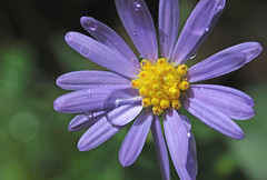 aster after rain (HiCe) Tags: wildflower aster winnerbc